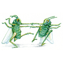 Grasshoppers Dancing by Kit Colman